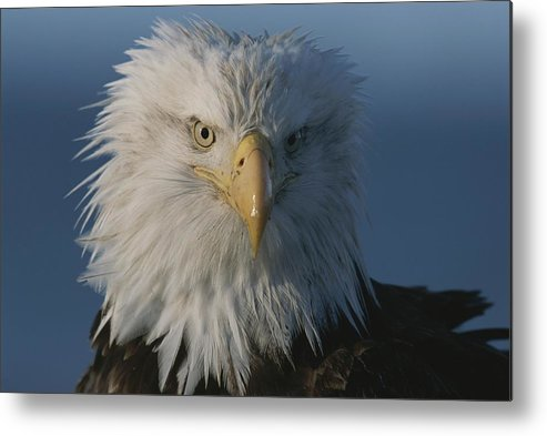northern American Bald Eagles Metal Print featuring the photograph A Close View Of A Northern American by Norbert Rosing