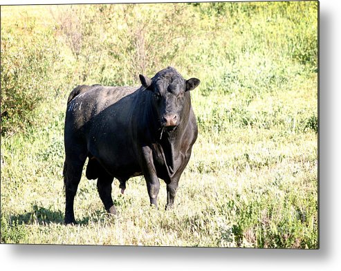 Nature Metal Print featuring the photograph Bull by Henrik Lehnerer