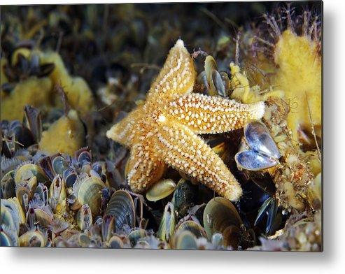 Asterias Rubens Metal Print featuring the photograph Common Starfish Feeding by Alexander Semenov