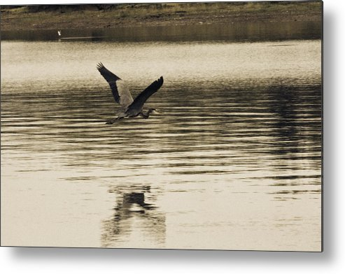Blue Heron Metal Print featuring the photograph Crossing The Lake by Douglas Barnard