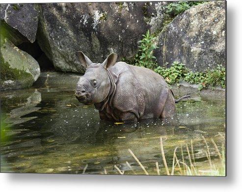 Mp Metal Print featuring the photograph Indian Rhinoceros Rhinoceros Unicornis by Konrad Wothe