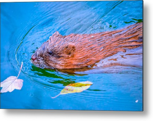Muskrat Metal Print featuring the photograph Muskrat by Brian Stevens