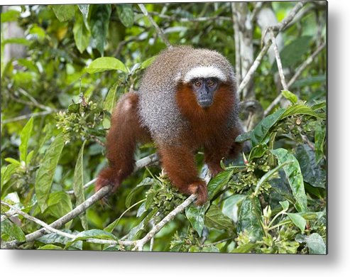 Callicebus Cupreus Discolor Metal Print featuring the photograph Red Titi Monkey by Tony Camacho