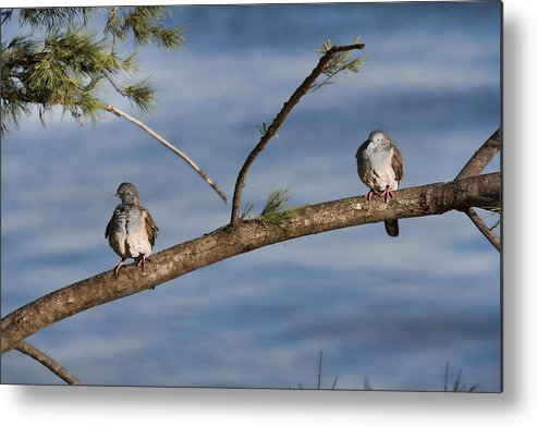 Bar-shouldered Doves Metal Print featuring the photograph Two Of A Kind by Douglas Barnard