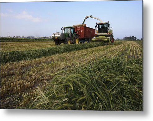Agricultural Metal Print featuring the photograph Wheat Harvest For Silage by Photostock-israel