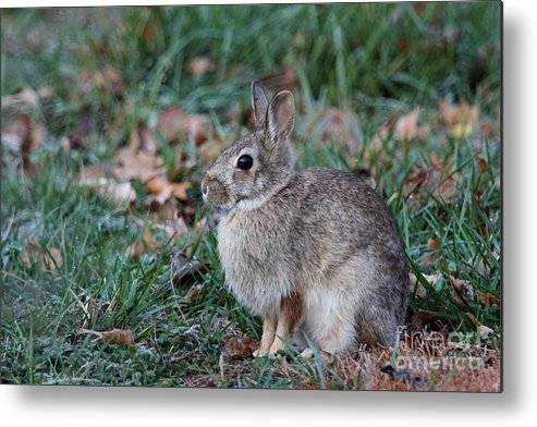 Nature Metal Print featuring the photograph Eastern Cottontail Rabbit by Jack R Brock