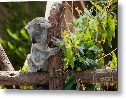 Animals Metal Print featuring the digital art Koala by Carol Ailles