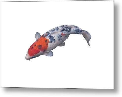 Horizontal Metal Print featuring the photograph Koi Carp, Fish, by IMAGEMORE Co, Ltd.