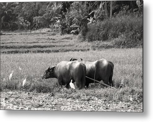 Agriculture Metal Print featuring the photograph Water Buffalo by Jane Rix