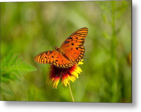 Gulf Fritillary Metal Print featuring the photograph Butterfly by Wild Expressions Photography