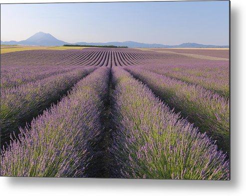 Horizontal Metal Print featuring the photograph English Lavender Field, Valensole, Valensole Plateau, Alpes-de-haute-provence, Provence-alpes-cote D Azur, France by Martin Ruegner