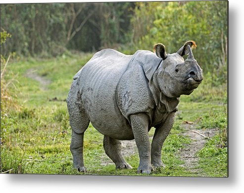 Rhinoceros Unicornis Metal Print featuring the photograph Indian Rhinoceros by Tony Camacho