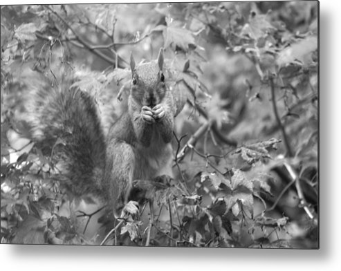 Nature Metal Print featuring the photograph Squirrel Dinner by Valia Bradshaw