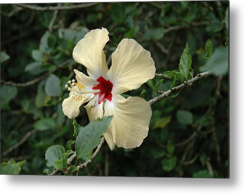 Hibiscus Metal Print featuring the photograph Untitled by Kathy Schumann