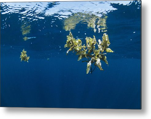 Alga Metal Print featuring the photograph Tropical Seaweed by Alexis Rosenfeld