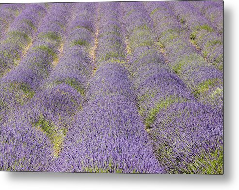 Horizontal Metal Print featuring the photograph English Lavender Field, Valensole, Valensole Plateau, Alpes-de-haute-provence, Provence-alpes-cote D Azur, France by Martin Ruegner