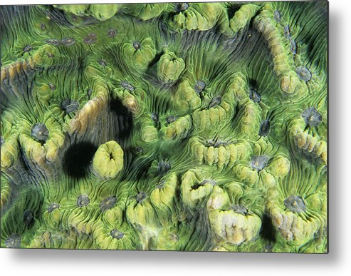 Skeleton Metal Print featuring the photograph Hard Coral by Alexis Rosenfeld