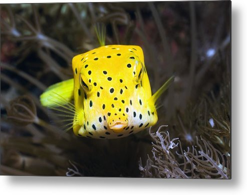 Yellow Boxfish Metal Print featuring the photograph Yellow Boxfish by Georgette Douwma