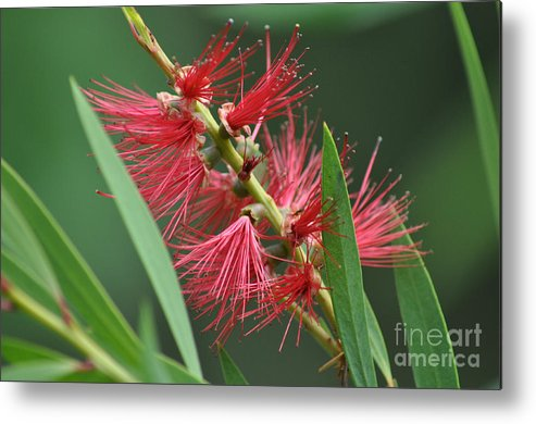 Bottle Brush Metal Print featuring the photograph A Brush With Beauty by Joanne Kocwin
