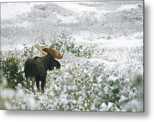 North America Metal Print featuring the photograph A Bull Moose On A Snow Covered Hillside by Rich Reid