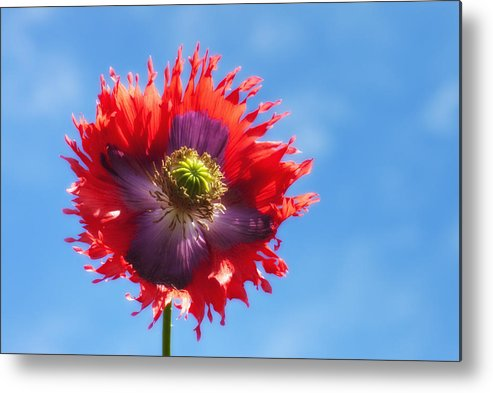 Blossom Metal Print featuring the photograph A Colorful Flower With Red And Purple by John Short
