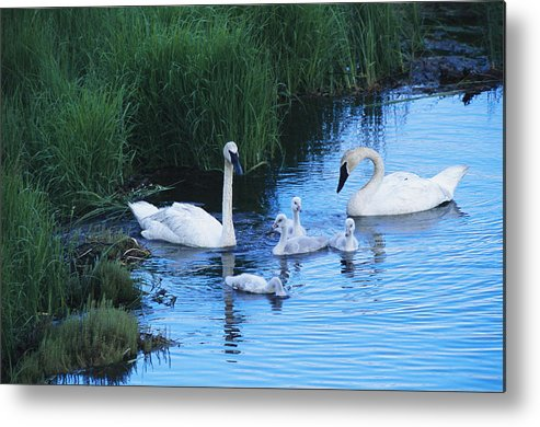 Animals Metal Print featuring the photograph A Family Of Trumpeter Swans Swims by Melissa Farlow