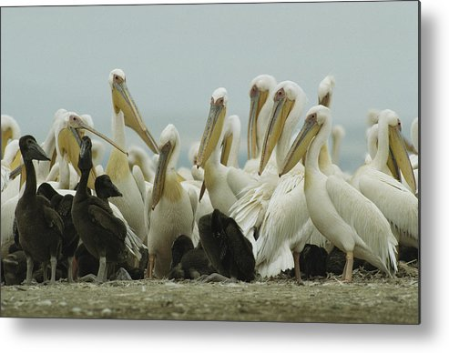 Pelecanus Onocrotalus Metal Print featuring the photograph A Group Of Eastern White Pelicans by Klaus Nigge