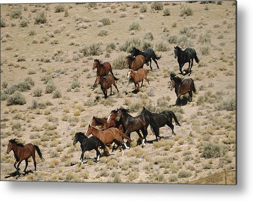 Animals Metal Print featuring the photograph A Herd Of Wild Horses Gallops by Melissa Farlow