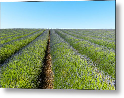 Horizontal Metal Print featuring the photograph A Lavender Field In Early Summer by Chris Hepburn