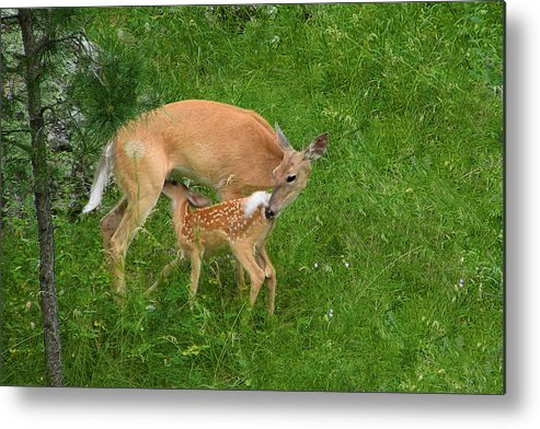 Doe Metal Print featuring the photograph A Mother's Love - Doe And Fawn by Christine Till
