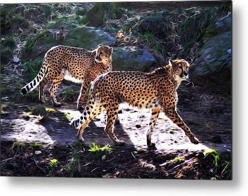 A Pair Of Cheetah's Metal Print featuring the photograph A Pair Of Cheetah's by Bill Cannon