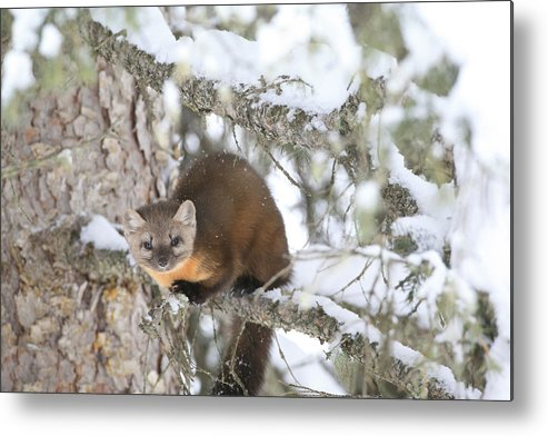 Pine Marten Metal Print featuring the photograph A Pine Marten Looks For Food by Drew Rush