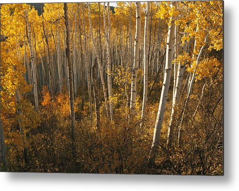Scenes And Views Metal Print featuring the photograph A Stand Of Aspen Trees Displaying by Melissa Farlow