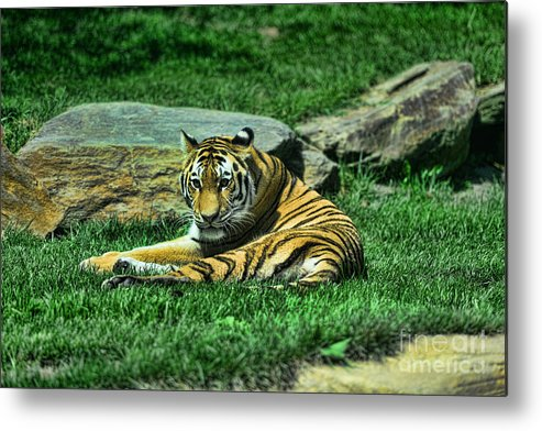 The Tiger's Gaze Metal Print featuring the photograph A Tiger's Gaze by Paul Ward