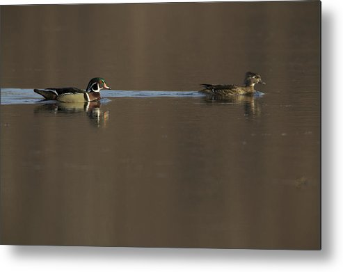 Wood Duck Metal Print featuring the photograph A Wood Duck Aix Sponsa Pair by Tim Laman