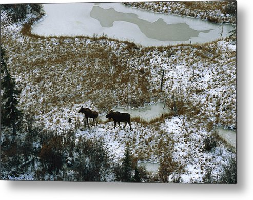 North America Metal Print featuring the photograph Aerial Of A Male And Female Moose by Norbert Rosing