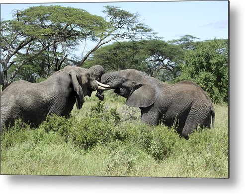 African Bush Elephant Metal Print featuring the photograph African Bush Elephants Locking Tusks by Photostock-israel