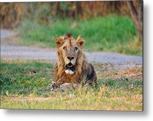 Horizontal Metal Print featuring the photograph African Lion by Vudhikrai Sovannakran