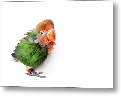 Horizontal Metal Print featuring the photograph Agapornis Papillero by Retales Botijero