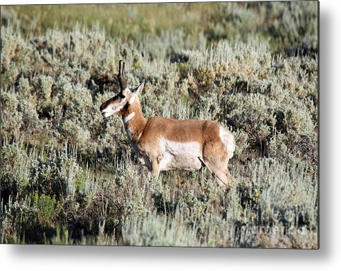 Antelope Metal Print featuring the photograph Antelope In Lamar Valley by Shawn Naranjo