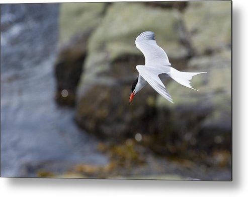 Horizontal Metal Print featuring the photograph Arctic Tern (sterna Paradisaea) by Aluma Images