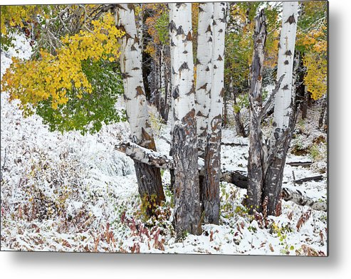 Idaho Metal Print featuring the photograph Autumn Aspens And Snow by D Robert Franz