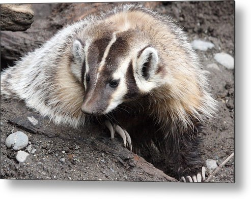 Northwest Trek Metal Print featuring the photograph Badger - 0007 by S and S Photo