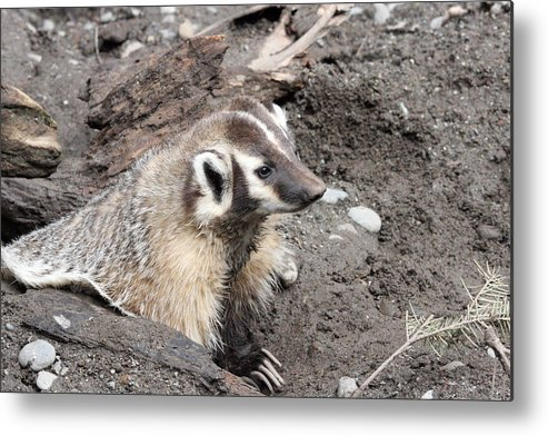Northwest Trek Metal Print featuring the photograph Badger - 0009 by S and S Photo