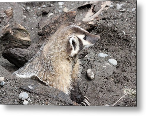Northwest Trek Metal Print featuring the photograph Badger - 0010 by S and S Photo