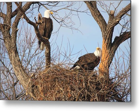 Adult Metal Print featuring the photograph Bald Eagle - 0249 by S and S Photo