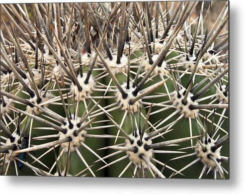 Arizona Metal Print featuring the photograph Barrel Cactus Color by Barbara Northrup