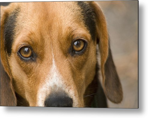 Dog Metal Print featuring the photograph Beagle Hound Dog Eyes Of Love by Kathy Clark