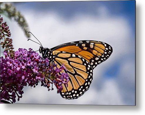 Monarch Butterfly Metal Print featuring the photograph Beauty In The Sky by Cheryl Cencich