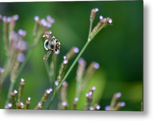 Bee Metal Print featuring the photograph Bee On End by Kathy Gibbons